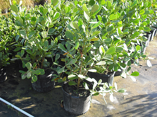 clusiaceae clusia sp - (640x517 - 136kB)